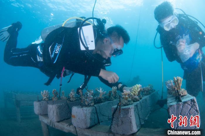 中企与印尼环保机构共建巴厘岛珊瑚中心并野放珊瑚
